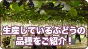 生産しているぶどうの品種をご紹介!